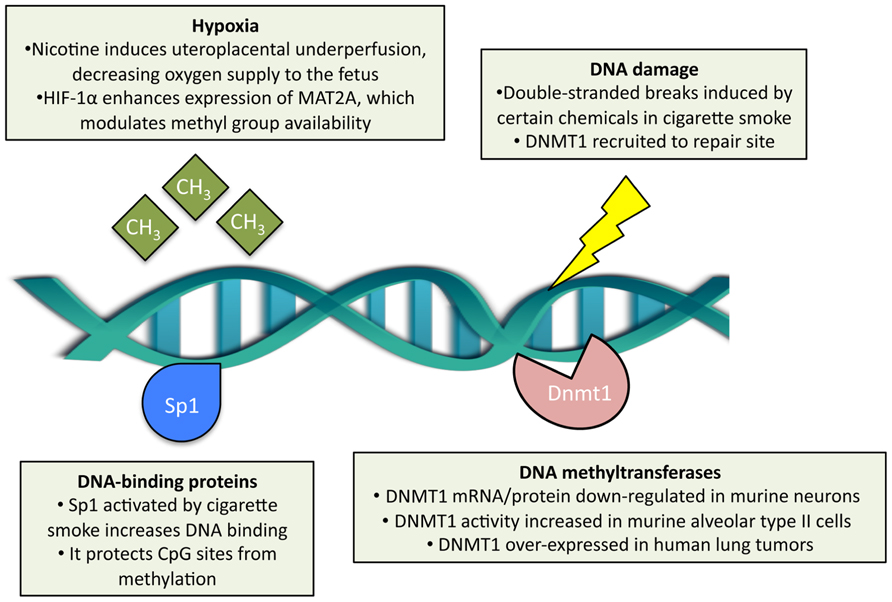 DNA methylation is the most studied epigenetic modification, capable of controlling gene expression in the contexts of normal traits or diseases.
